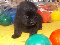 ポメラニアンの子犬(ID:1244111171)の1枚目の写真/更新日:2017-04-19