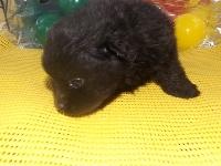 ポメラニアンの子犬(ID:1244111171)の2枚目の写真/更新日:2017-04-19