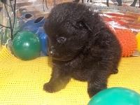 ポメラニアンの子犬(ID:1244111171)の3枚目の写真/更新日:2017-04-19