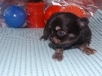 チワワ(ロング)の子犬(ID:1244111172)の2枚目の写真/更新日:2017-05-01
