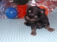 チワワ(ロング)の子犬(ID:1244111172)の3枚目の写真/更新日:2017-05-01