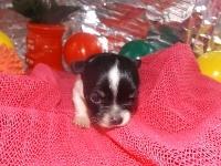 チワワ(ロング)の子犬(ID:1244111173)の3枚目の写真/更新日:2017-05-01