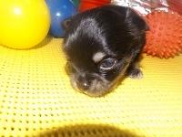 チワワ(ロング)の子犬(ID:1244111175)の1枚目の写真/更新日:2017-05-01