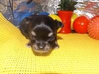 チワワ(ロング)の子犬(ID:1244111175)の2枚目の写真/更新日:2017-05-01