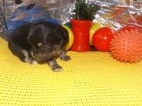 チワワ(ロング)の子犬(ID:1244111175)の3枚目の写真/更新日:2017-05-01