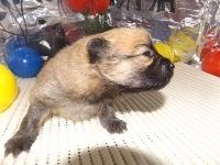 ポメラニアンの子犬(ID:1244111176)の1枚目の写真/更新日:2017-05-02