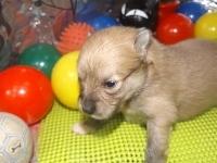 ポメラニアンの子犬(ID:1244111177)の2枚目の写真/更新日:2017-05-02