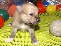 ポメラニアンの子犬(ID:1244111177)の3枚目の写真/更新日:2017-05-02