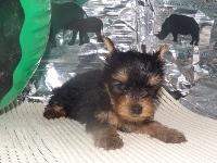 ヨークシャーテリアの子犬(ID:1244111179)の2枚目の写真/更新日:2017-05-18