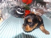 ヨークシャーテリアの子犬(ID:1244111179)の3枚目の写真/更新日:2017-05-18