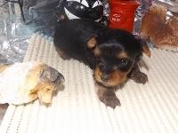 ヨークシャーテリアの子犬(ID:1244111180)の3枚目の写真/更新日:2017-05-18