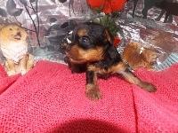 ヨークシャーテリアの子犬(ID:1244111181)の2枚目の写真/更新日:2017-05-18