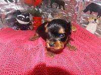 ヨークシャーテリアの子犬(ID:1244111181)の3枚目の写真/更新日:2017-05-18