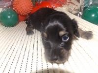 ミニチュアダックスフンド(ロング)の子犬(ID:1244111182)の1枚目の写真/更新日:2017-05-23