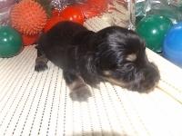ミニチュアダックスフンド(ロング)の子犬(ID:1244111182)の2枚目の写真/更新日:2017-05-23