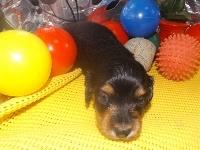 ミニチュアダックスフンド(ロング)の子犬(ID:1244111183)の2枚目の写真/更新日:2017-05-23