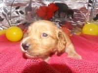 ミニチュアダックスフンド(ロング)の子犬(ID:1244111184)の1枚目の写真/更新日:2017-05-25