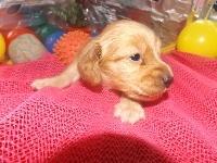 ミニチュアダックスフンド(ロング)の子犬(ID:1244111184)の2枚目の写真/更新日:2017-05-25