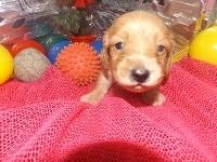 ミニチュアダックスフンド(ロング)の子犬(ID:1244111184)の3枚目の写真/更新日:2017-05-25