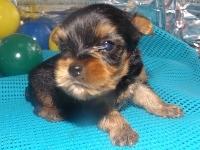 ヨークシャーテリアの子犬(ID:1244111185)の1枚目の写真/更新日:2017-06-17