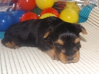 ヨークシャーテリアの子犬(ID:1244111187)の2枚目の写真/更新日:2017-06-17