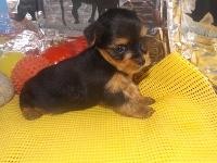 ヨークシャーテリアの子犬(ID:1244111188)の2枚目の写真/更新日:2017-06-17