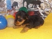 ヨークシャーテリアの子犬(ID:1244111188)の3枚目の写真/更新日:2017-06-17