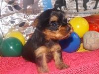 ヨークシャーテリアの子犬(ID:1244111189)の3枚目の写真/更新日:2017-06-17