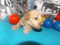 トイプードルの子犬(ID:1244111190)の1枚目の写真/更新日:2017-06-17