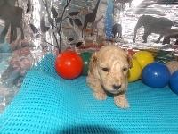 トイプードルの子犬(ID:1244111190)の2枚目の写真/更新日:2017-06-17