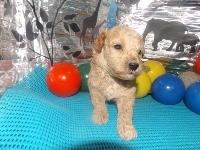 トイプードルの子犬(ID:1244111190)の3枚目の写真/更新日:2017-06-17