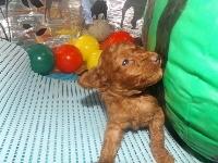 トイプードルの子犬(ID:1244111191)の1枚目の写真/更新日:2017-06-17