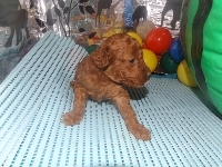 トイプードルの子犬(ID:1244111191)の2枚目の写真/更新日:2017-06-17