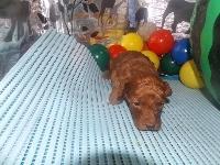 トイプードルの子犬(ID:1244111191)の3枚目の写真/更新日:2017-06-17