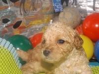 トイプードルの子犬(ID:1244111192)の1枚目の写真/更新日:2017-06-17