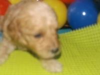 トイプードルの子犬(ID:1244111192)の2枚目の写真/更新日:2017-06-17