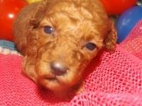 トイプードルの子犬(ID:1244111194)の1枚目の写真/更新日:2017-06-17