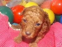 トイプードルの子犬(ID:1244111194)の3枚目の写真/更新日:2017-06-17