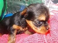 ヨークシャーテリアの子犬(ID:1244111195)の1枚目の写真/更新日:2017-07-15