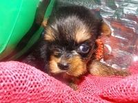 ヨークシャーテリアの子犬(ID:1244111195)の2枚目の写真/更新日:2017-07-15