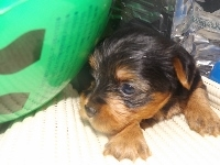 ヨークシャーテリアの子犬(ID:1244111196)の1枚目の写真/更新日:2017-07-15