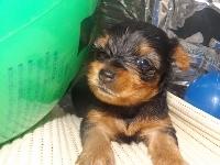 ヨークシャーテリアの子犬(ID:1244111196)の2枚目の写真/更新日:2017-07-15