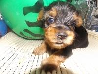 ヨークシャーテリアの子犬(ID:1244111196)の3枚目の写真/更新日:2017-07-15