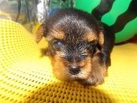 ヨークシャーテリアの子犬(ID:1244111197)の3枚目の写真/更新日:2017-07-15