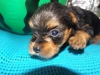 ヨークシャーテリアの子犬(ID:1244111198)の2枚目の写真/更新日:2017-07-15