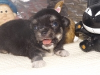 チワワ(ロング)の子犬(ID:1244111199)の2枚目の写真/更新日:2017-08-02