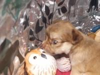 チワワ(ロング)の子犬(ID:1244111200)の2枚目の写真/更新日:2017-08-02