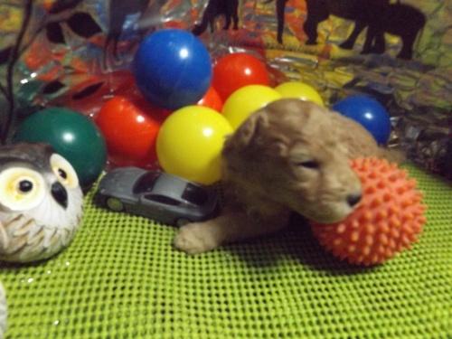 トイプードルの子犬(ID:1244111202)の1枚目の写真/更新日:2017-09-21