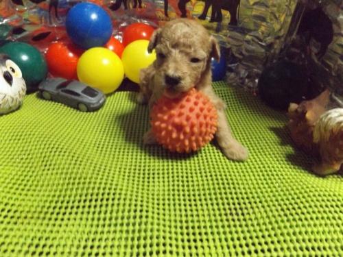 トイプードルの子犬(ID:1244111202)の2枚目の写真/更新日:2017-09-21