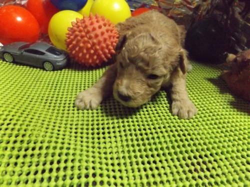 トイプードルの子犬(ID:1244111202)の3枚目の写真/更新日:2017-09-21